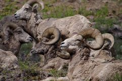 Rocky Mountain Bighorn Sheep canadensis Arkivbilder