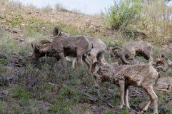 Rocky Mountain Bighorn Sheep, canadensis fotografie stock libere da diritti