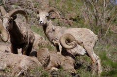 Rocky Mountain Bighorn Sheep, canadensis Photo stock
