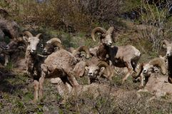 Rocky Mountain Bighorn Sheep canadensis Royaltyfria Bilder