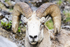 Rocky Mountain Bighorn Sheep (canadensis d'Ovis) Image stock