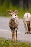 Rocky Mountain Bighorn Sheep (canadensis d'Ovis) Images stock