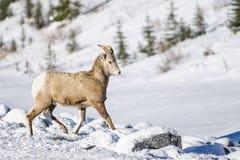 Rocky Mountain Bighorn Sheep (canadensis d'Ovis) Photo libre de droits