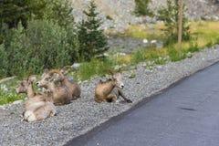 Rocky Mountain Bighorn Sheep (canadensis d'Ovis) Photographie stock libre de droits