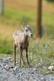 Rocky Mountain Bighorn Sheep (canadensis d'Ovis) Photos stock