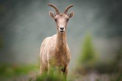 Rocky Mountain Bighorn Sheep (canadensis del Ovis) Immagine Stock Libera da Diritti