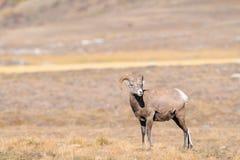Rocky Mountain Bighorn Sheep (canadensis del Ovis) Fotografie Stock Libere da Diritti