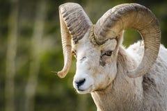 Rocky Mountain Bighorn Sheep (canadensis del Ovis) Fotos de archivo