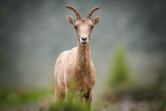 Rocky Mountain Bighorn Sheep (canadensis do Ovis) Imagem de Stock Royalty Free