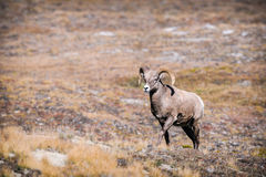 Rocky Mountain Bighorn Sheep (canadensis do Ovis) Foto de Stock