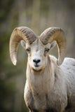 Rocky Mountain Bighorn Sheep (canadensis do Ovis) Imagem de Stock