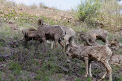 Rocky Mountain Bighorn Sheep, canadensis. Rocky Mountain Bighorn Sheep near Rock Creek, Montana in the John Long Mountain Range Royalty Free Stock Photos