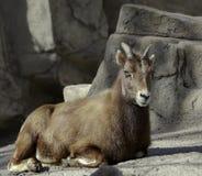 Rocky Mountain Bighorn Sheep in a zoo. Rocky Mountain Bighorn Sheep in Denver Zoo stock photos