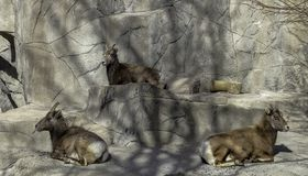 Rocky Mountain Bighorn Sheep in a zoo stock photography