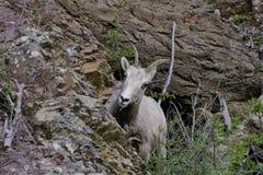 Rocky Mountain Bighorn Sheep Ewe royalty-vrije stock afbeeldingen