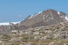 Bighorn Sheep Ewe in the High Alpine. Rocky mountain bighorn sheep ewe in the alpine stock images