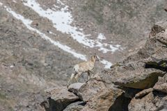 Bighorn Sheep Ewe in Rocks. Rocky mountain bighorn sheep ewe in the alpine royalty free stock photo