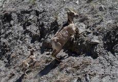 Rocky Mountain Bighorn Sheep Ewe et agneau liés Photographie stock libre de droits