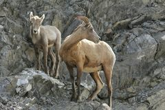 Rocky Mountain Bighorn Sheep - Ewe and Lamb Stock Photography