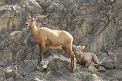 Rocky Mountain Bighorn Sheep - Ewe and Lamb Royalty Free Stock Photography