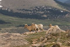 Rocky Mountain Bighorn Sheep Ewes Stock Image