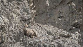 Rocky Mountain Bighorn Sheep féminin et x28 ; Canadensis& x29 d'Ovis ; Photo libre de droits
