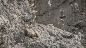 Rocky Mountain Bighorn Sheep féminin et x28 ; Canadensis& x29 d'Ovis ; Photo libre de droits