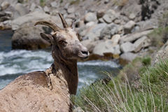 Rocky Mountain Bighorn Sheep fêmea selvagem Imagens de Stock Royalty Free
