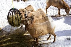 Rocky Mountain Bighorn Sheep feeding stock photo