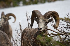 Rocky Mountain Bighorn Sheep stock photography