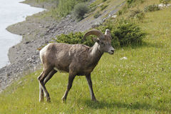 Rocky Mountain Bighorn Sheep - Jasper National Park, Kanada Royaltyfria Foton