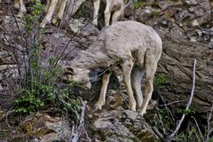 Rocky Mountain Bighorn Sheep-jong geitje stock fotografie