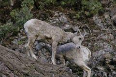 Rocky Mountain Bighorn Sheep-jonge geitjes royalty-vrije stock foto