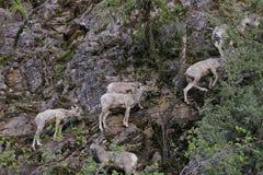 Rocky Mountain Bighorn Sheep-jonge geitjes stock foto
