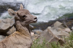 Wild Rocky mountain bighorn sheep lamb royalty free stock images