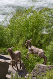 Rocky Mountain Bighorn Sheep Lambs selvaggio che salta sulle rocce Immagine Stock