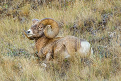 Rocky Mountain Bighorn Sheep. Large Adult Male Rocky Mountain Bighorn Sheep Resting On Grassy Hillside royalty free stock photo