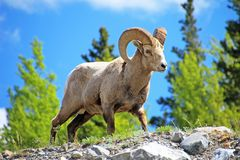 Rocky Mountain Bighorn Sheep, latin name ovis canadensis canadensis, Banff, Canada Royalty Free Stock Photography