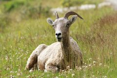 Rocky Mountain Bighorn Sheep Lying in a Meadow Stock Photo