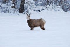 Rocky Mountain Bighorn Sheep, montagne di inverno, Montana Immagini Stock Libere da Diritti