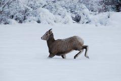 Rocky Mountain Bighorn Sheep, montagne di inverno, Montana Fotografie Stock