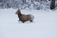 Rocky Mountain Bighorn Sheep, montagnes d'hiver, Montana Photographie stock