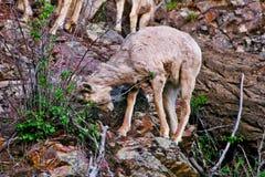 Rocky Mountain Bighorn Sheep, Montana image libre de droits