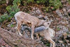 Rocky Mountain Bighorn Sheep, Montana photo stock