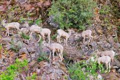 Rocky Mountain Bighorn Sheep, Montana photographie stock libre de droits