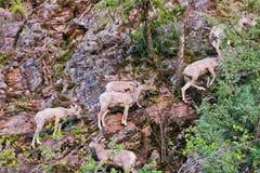 Rocky Mountain Bighorn Sheep, Montana images libres de droits