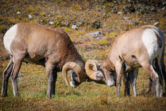 Rocky Mountain Bighorn Sheep (Ovis-canadensis) Stock Fotografie