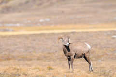 Rocky Mountain Bighorn Sheep (Ovis-canadensis) Royalty-vrije Stock Foto's