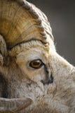 Rocky Mountain Bighorn Sheep (Ovis-canadensis) Royalty-vrije Stock Afbeeldingen