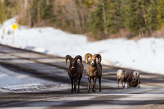 Rocky Mountain Bighorn Sheep Ovis canadensis Royaltyfria Bilder